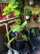 figtree_14aug2016_6