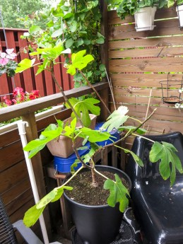 figtree_6aug2016_4