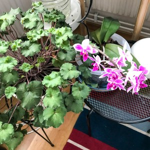 plants, geranium, pelargonia