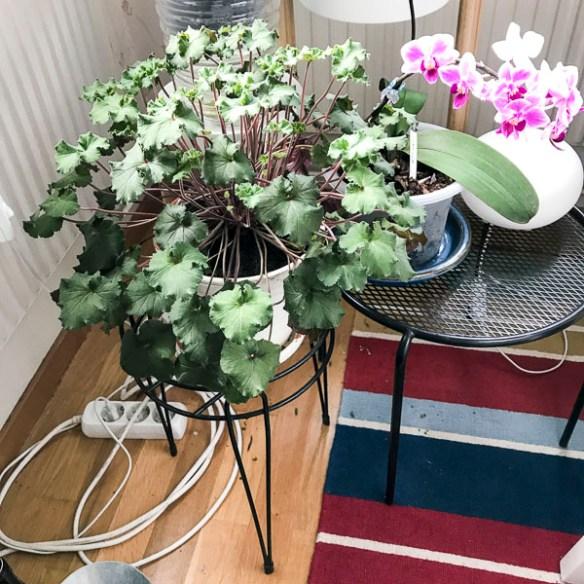 plants, pelargonia, geranium