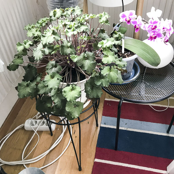plants, pelargonia, geranium