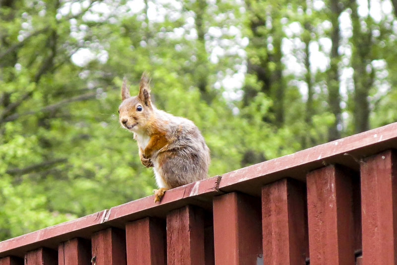 Watching from the top of the fence.