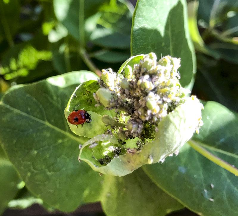 ladybug, honeysuckle