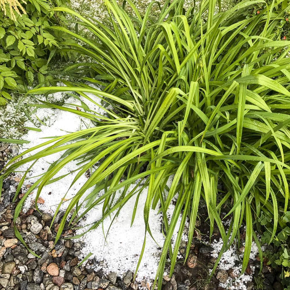 hail, daylilies