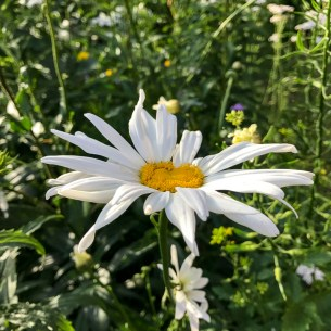 giantdaisy20170710