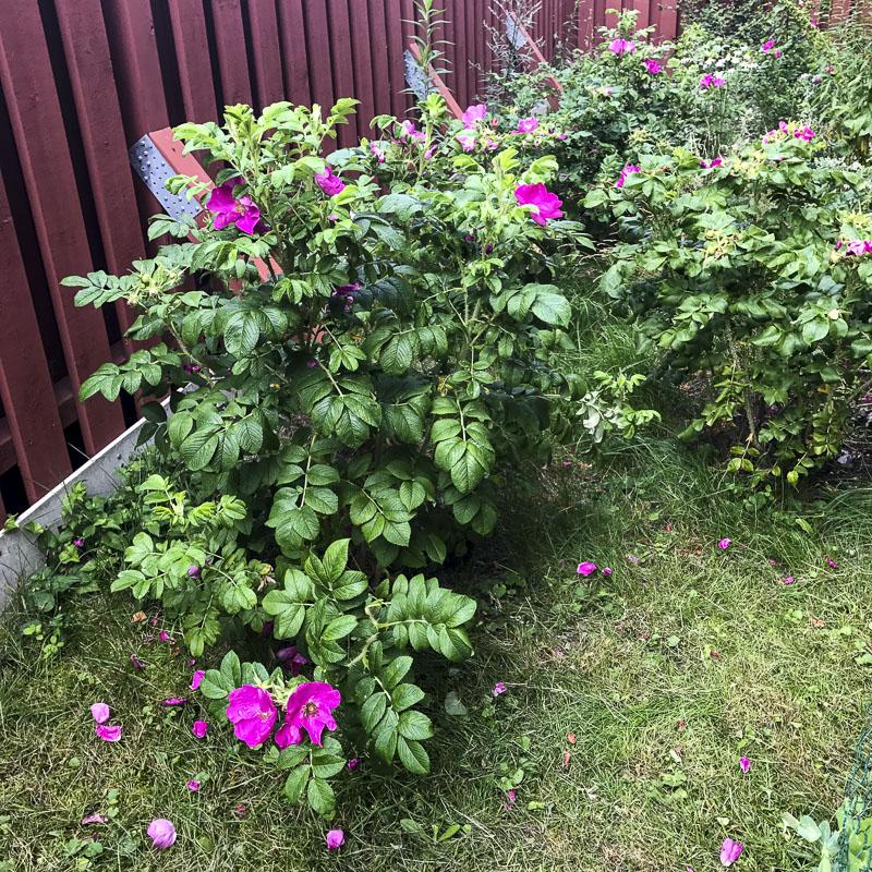beachroses, roses, backgarden