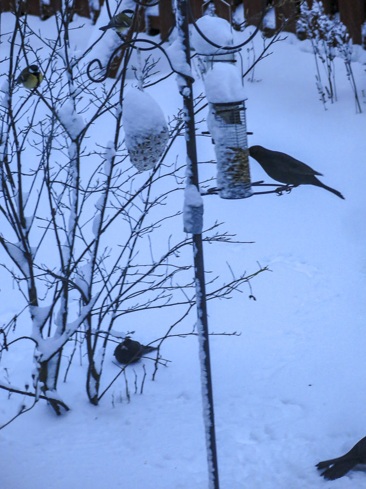 birdfeed, blackbirds