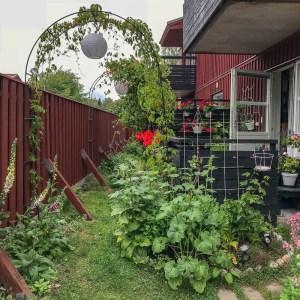 hollyhocks, flowerbed