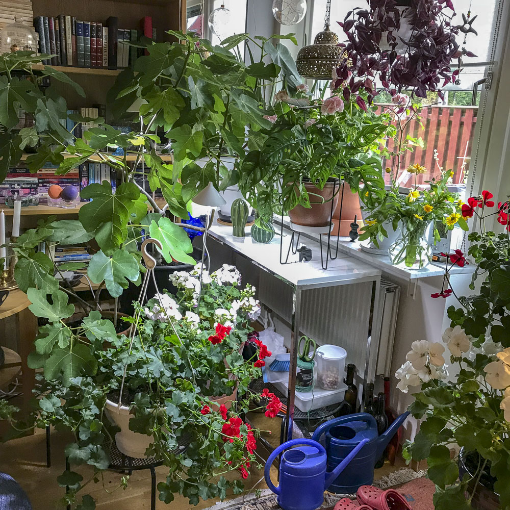livingroomwindow, livingroom, plants, indoorplants