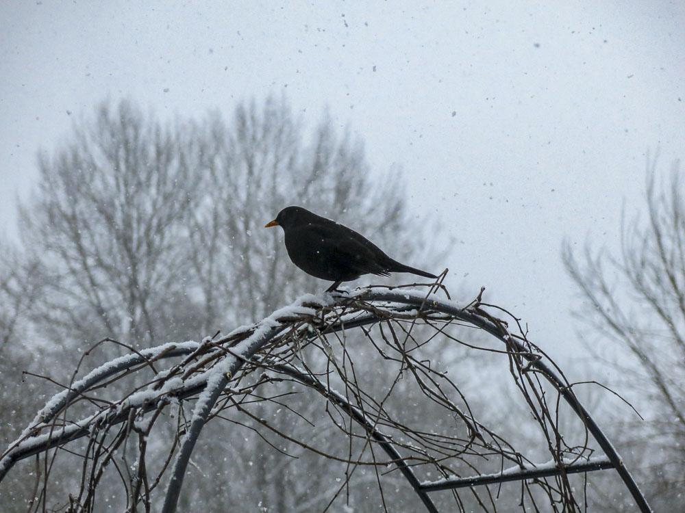 blackbird, koltrast