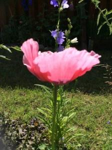 poppy, vallmo