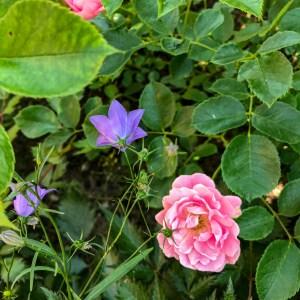 bluebells, rose