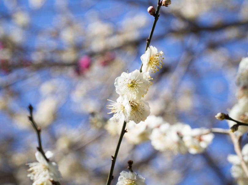 Le doux parfum de Ume signifie que le printemps est proche.