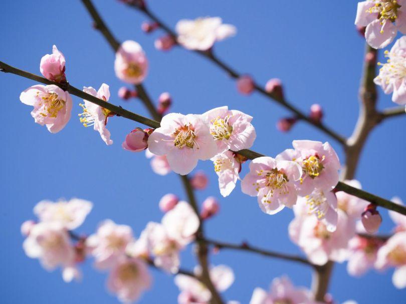 Il y a 450 abricotiers japonais appartenant à 35 espèces dans l'enceinte du sanctuaire, y compris dans les jardins.