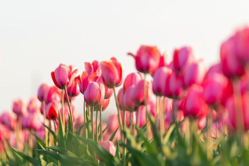 La tulipe est la fleur officielle de la ville de Yūbetsuchō.