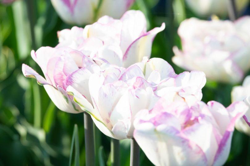 Tulipes flamboyantes à double pétale.