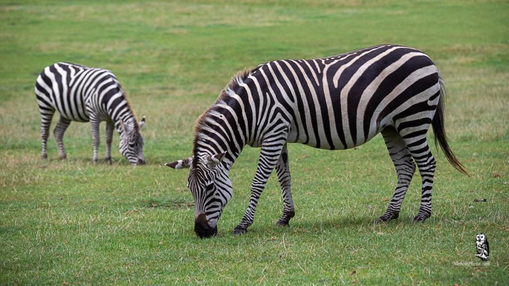 Zebra at Longleat Safari Park. Work in your pyjamas
