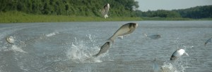 image of fish jumping out of a body of water