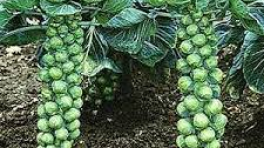 Brussel Sprouts on stalk
