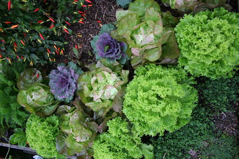 lettuce small