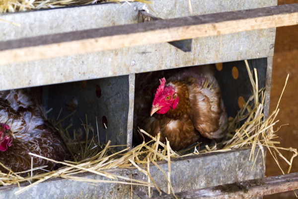 Chicken Coop Sleeping Nest