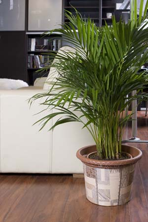 Most potted palms require minimal attention to thrive.