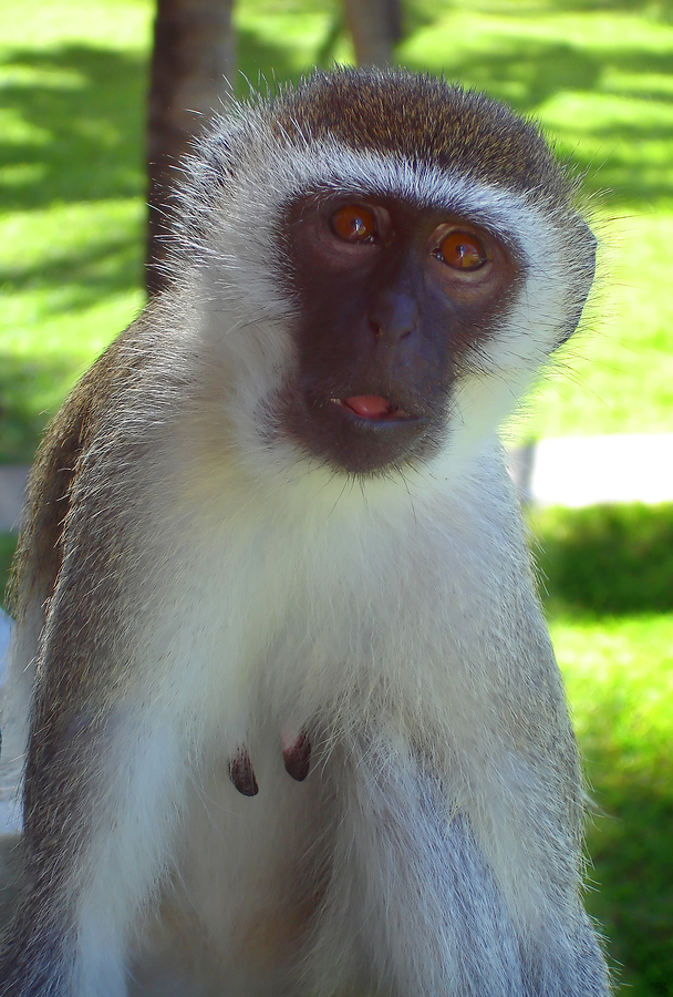 Yacht Charter Caribbean Green Vervet Monkeys Of Nevis And