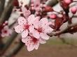 erik çiçeği