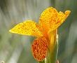kana çiçeği