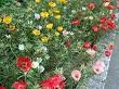 kedi tırnağı çiçeği