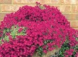 obrizya çiçeği