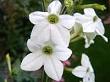 tütün çiçeği