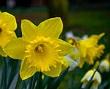 zerrin çiçeği