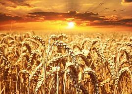 Buğdayın Özellikleri, Çeşitleri, Yetiştirilmesi ve Buğdaygiller Hakkında Bilgi