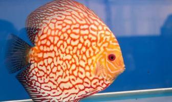 Disk Balığı
