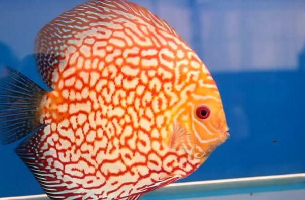 Balıklar Hakkında Özet Bilgiler (Yaşam Biçimleri, Türleri ve Özellikleri)