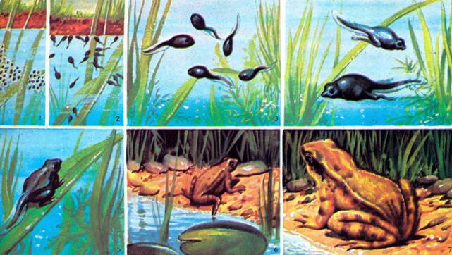 Kurbağanın Evreleri