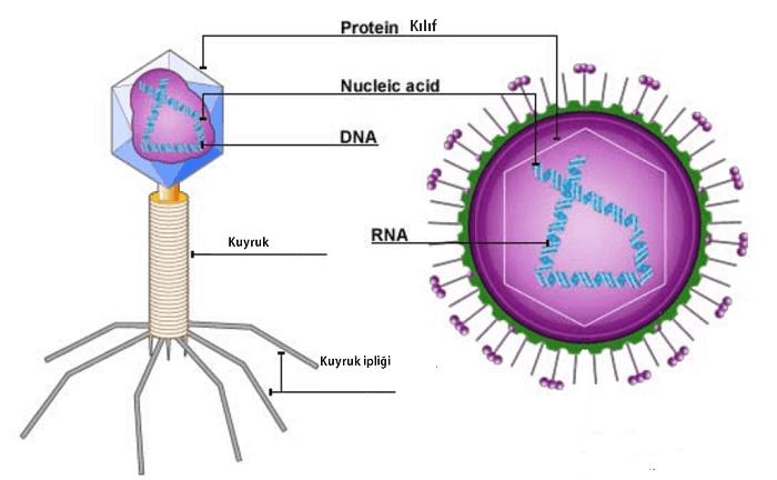 Virüslerin Yapısı