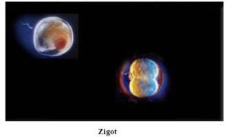 Zigot