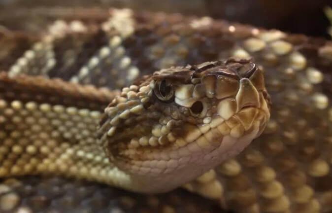Güney Amerika çıngıraklı yılan