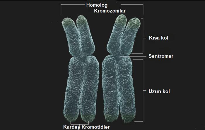homolog kromozomlar