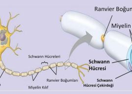 Schwann Hücreleri Nedir? Özellikleri Yapıları ve Görevleri Hakkında Bilgi