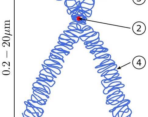 Doğrusal DNA ile Dairesel DNA Nedir? Doğrusal – Dairesel DNA Farkları Nelerdir?