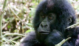 baby-gorilla