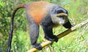 4 Days Gorilla & Golden Monkey Trekking Safari