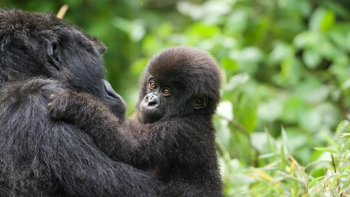 The Gorilla Habituation Experience