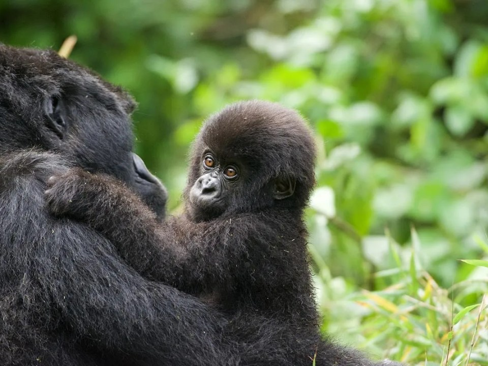 The Gorilla Habituation Experience