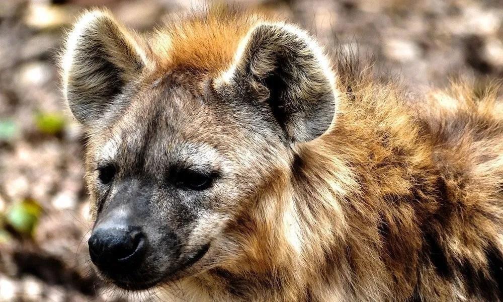 hyena in uganda