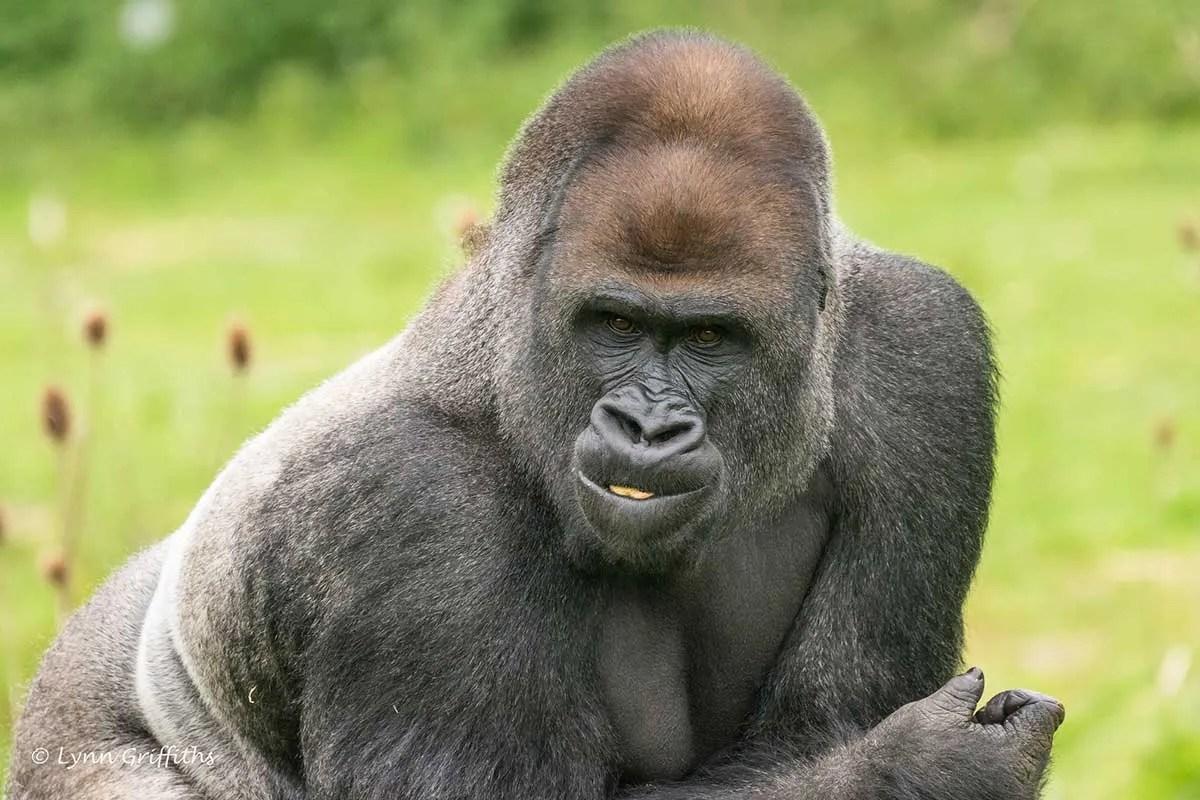 Comparing Gorilla Trekking in Uganda and Rwanda - Lowland Gorillas