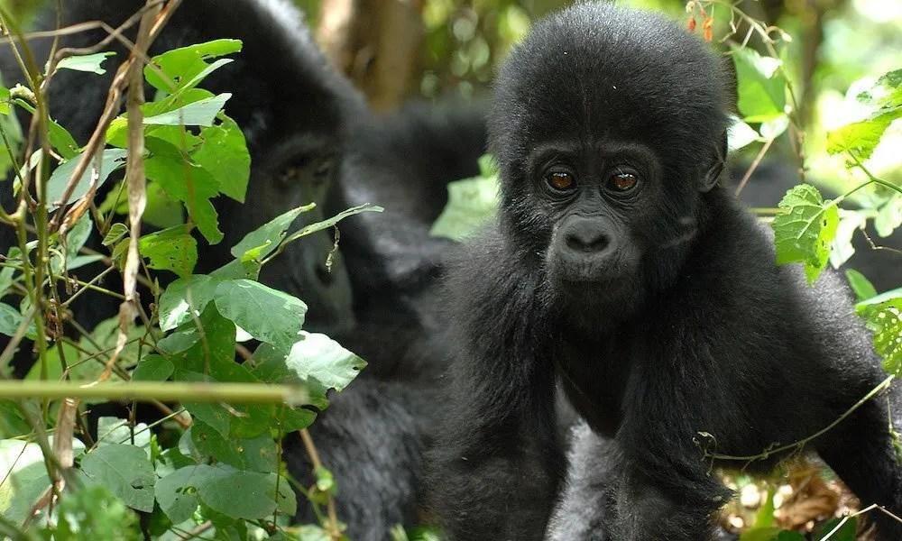 Uganda gorilla family